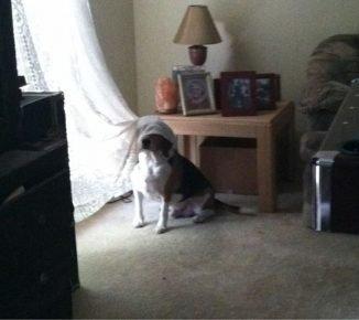 Собака спряталась под тюль