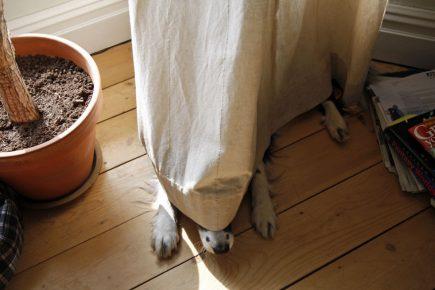 Собака спряталась за занавеской