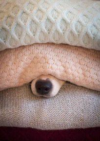 Собака с торчащим из-под свитеров носом