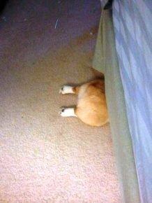 Еще одна попытка собаки спрятаться под кроватью