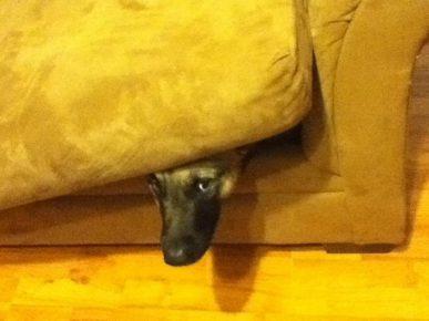 Овчарка в диване