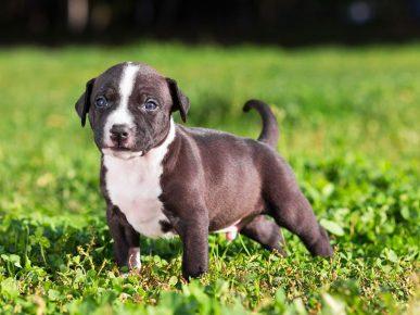 питбуль щенок