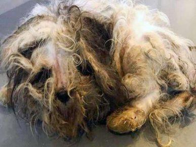 Пёс со свалявшейся шерстью