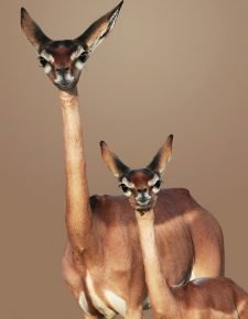 Антилопа геренук с детенышем