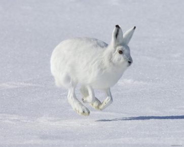 Арктический заяц в снежных просторах