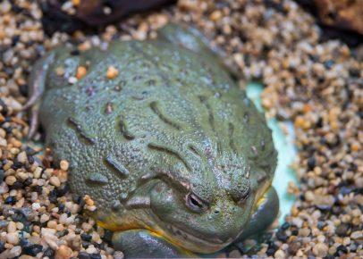 Африканская жаба-водонос