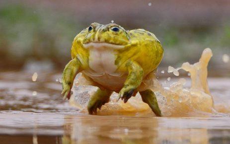 Жаба-водонос способна зимовать в своей слизи долгие годы