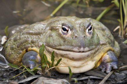 Фотография африканской жабы-водоноса