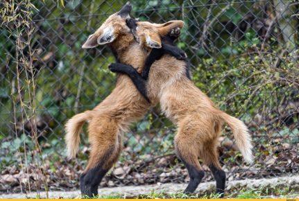 Щенки гривистого волка играют