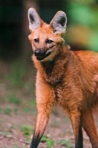 Длиннолапый гривистый волчонок