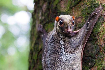 Малайский шерстокрыл обитает высоко на деревьях