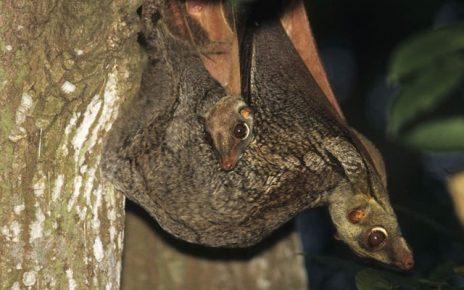 Самка малайского шерстокрыла с детёнышем