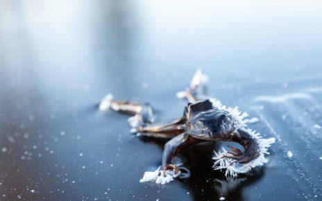 Лягушка с наступлением зимы замерзла