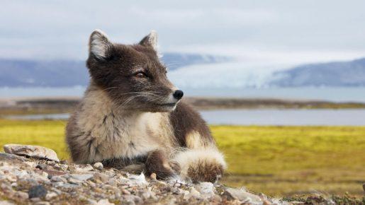 </p> <h2>Полярная лисичка в дикой природе</h2> <p>
