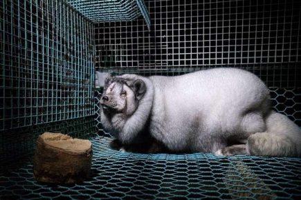 Клеточное содержание полярной лисицы