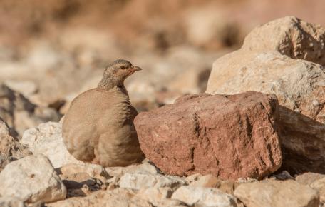 Песчаная куропатка сливается с камнями