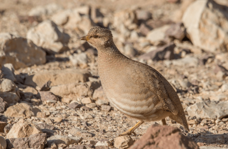 Песчаная куропатка