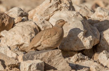 Самочка песчаной куропатки