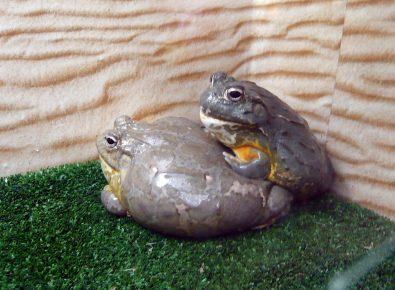 Африканские жабы