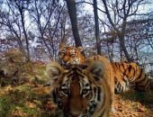 Тигры тоже проявили интерес к спрятанной фотоловушке