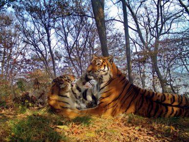 Семья тигров устроила игрища прямо возле фотоловушки