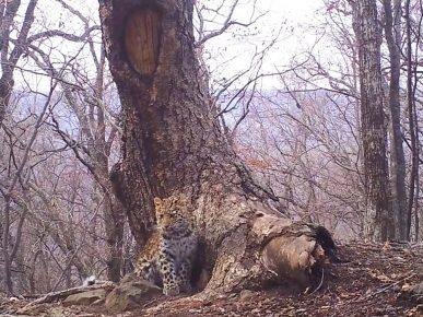 Леопард расположился прямо возле спрятанной фотоловушки