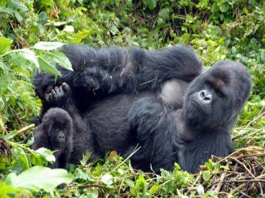 Горная горилла с детёнышем