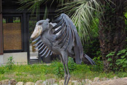 Китоглав расправляет крылья