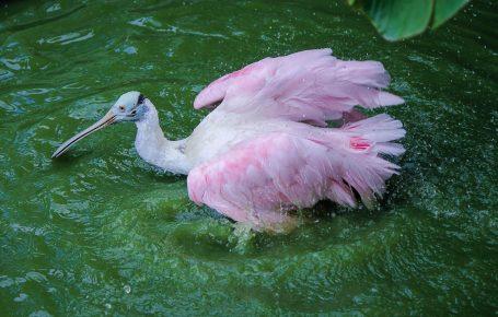 Розовая колпица на рыбалке