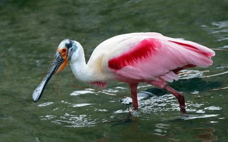 Розовая колпица высматривает рыбу