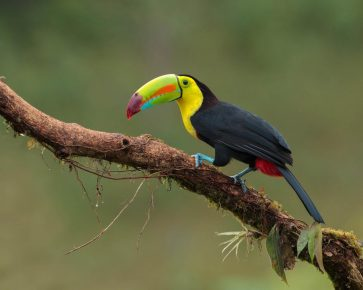 тукан — птица с огромным клювом