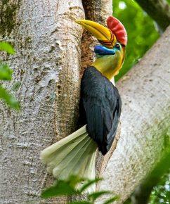Калао на дереве