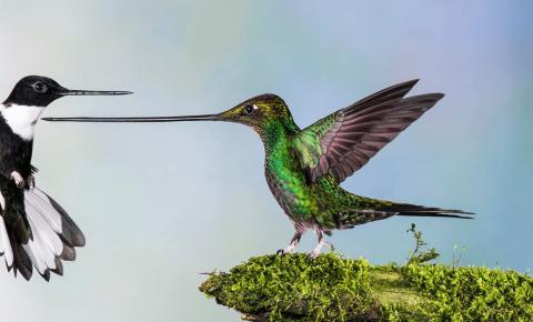 Колибри с очень длинным клювом