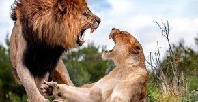 Львица убила своего партнёра по вольеру