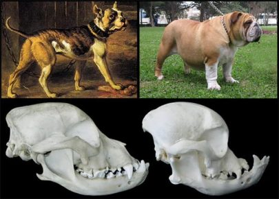Английский бульдог как изменилась форма черепа