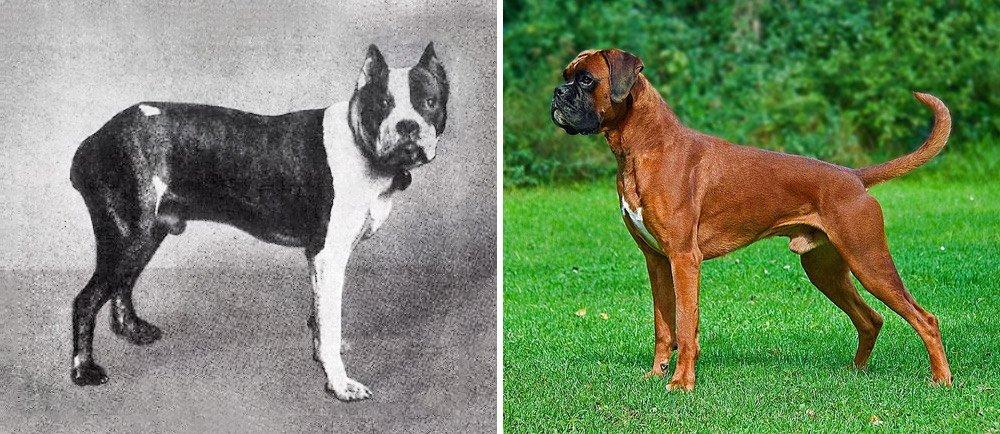 Сравнение собак породы немецкий боксер