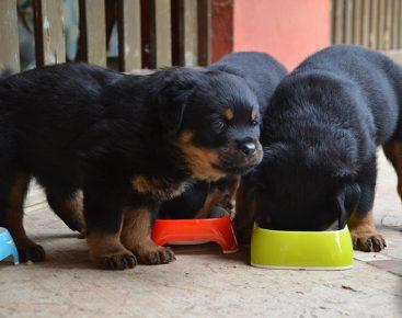 щенки едят из одной миски