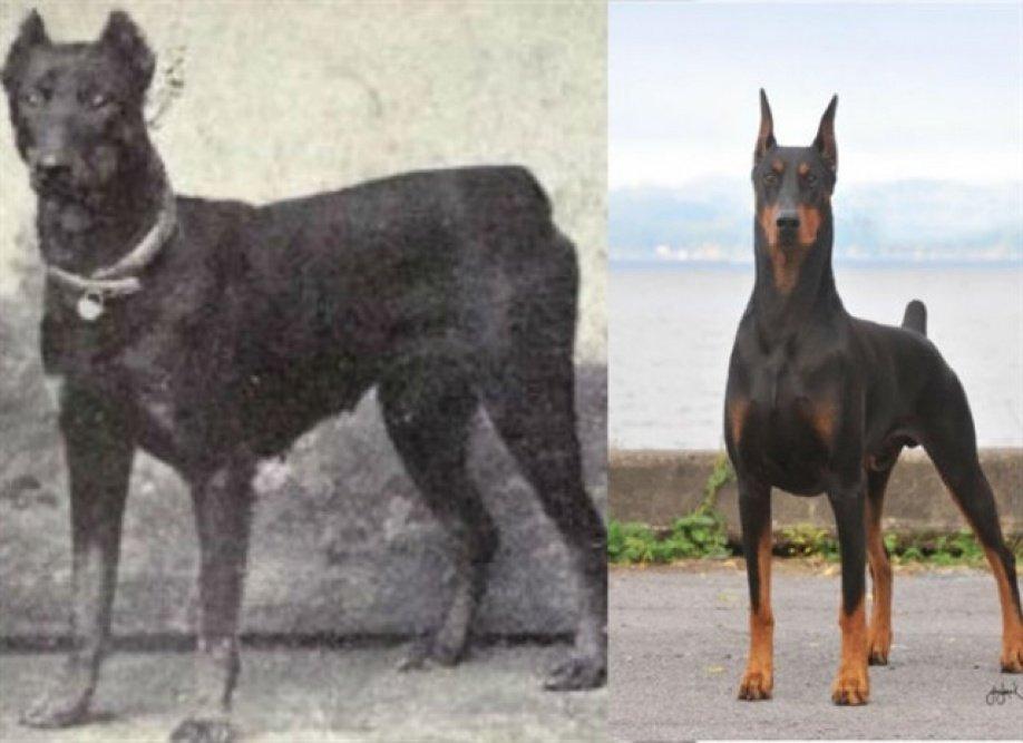 собаки породы Доберман