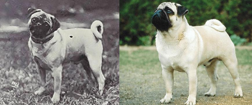 Мопс сегодня и 100 лет назад