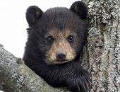 Дикий медвежонок вышел к людям