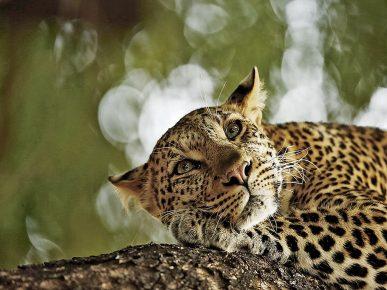 Скай Микер, «Замечтавшийся леопард»