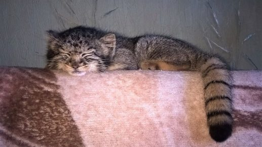 Мануленок спит на диване