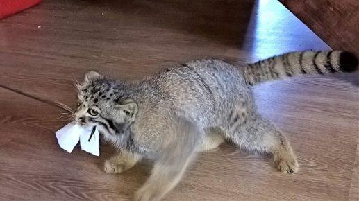 Манул играет с бумажкой