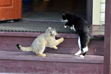 Манулёнок с кошкой