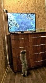 Манулёнок смотрит телевизор