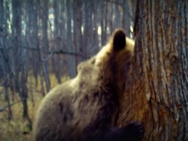 медведь ворует мёд