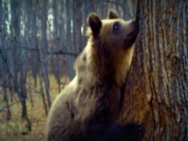медведь ворует мед у пчел