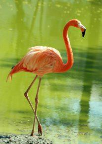 Ноги фламинго