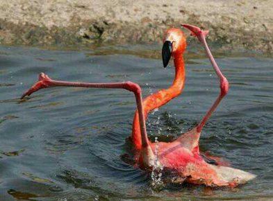 Фламинго купается