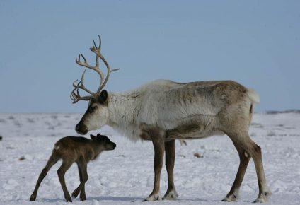 Самка арктического оленя с оленёнком